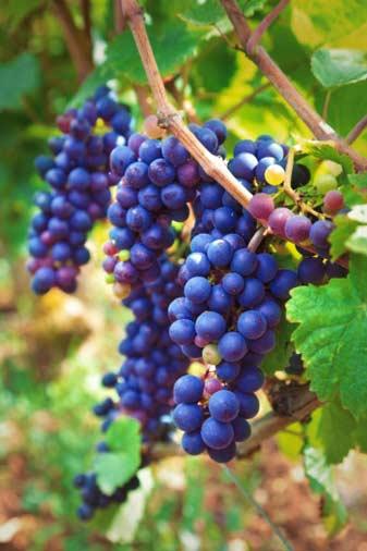 Удобрение МЕРА для винограда <br>«ВИНОГРАДНАЯ ГРОЗДЬ» с фульвокислотами